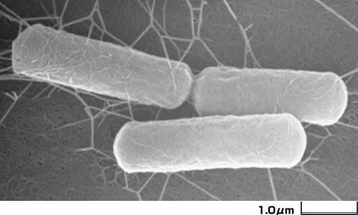 バチルス セレウス   菌の図鑑  ...