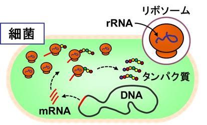 リボソームRNA.jpg