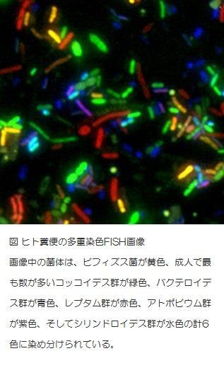 ヒト糞便の多重染色FISH画像.jpg