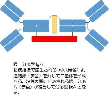 分泌型IgA.jpg